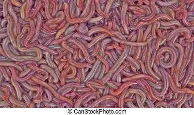 Bloodworms wriggling - A close view of a group of live...