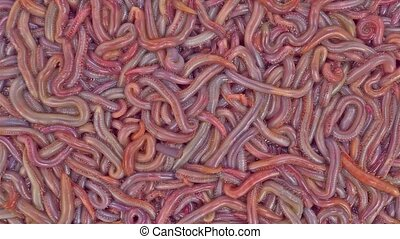 Bloodworms - A close view of moving bloodworms used for fish...