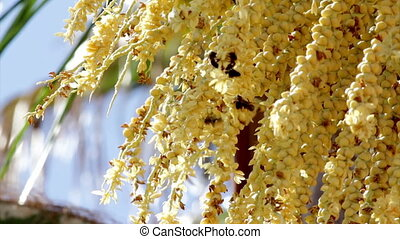 Palm Seed Bees - Bees pollination teamwork in Arecastrum...