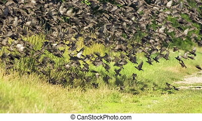 Flock Of Birds Flying Off the Ground - Slow motion – flock...