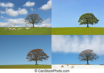 Four Seasons of the Oak Tree - Oak tree in the four seasons,...