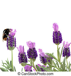 Bumble Bee and Lavender Flowers - Lavender herb flowers with...