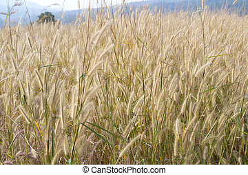 beautiful barnyard grass background