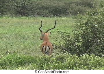 Male Impala - Lone Impala looking for danger in Tarangire...