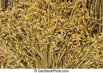 oats background - oats and stems on a barnboard background