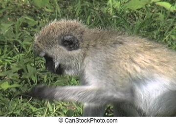 Vervet Monkey - This Vervet monkey is eating grass in...