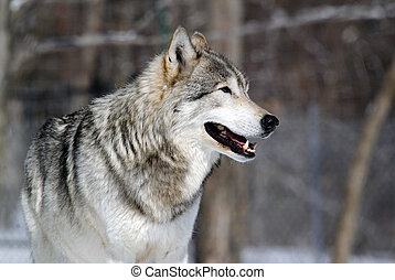Gray Wolf - Close-up portrait of a gray wolf in Winter