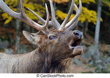 Wapiti - Close-up portrait a a Wapiti in the Autumn season
