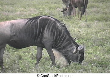 Gnu in the Serengeti - Close up of a Gnu in Tanzania