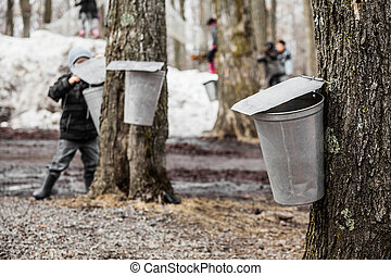 Kids lookin into the Maple Sap buckets - Forest of Maple on...