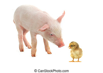 chick and pig on a white background...