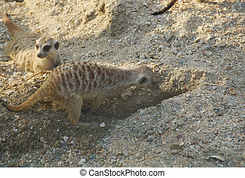 meercat digging a hole