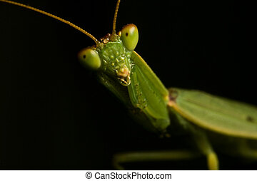 Mantidae - A common insect found in many Australian gardens.