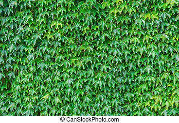 Ivy background - Green ivy wall background