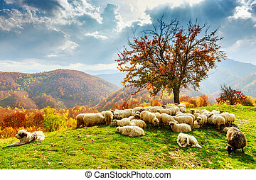 Autumn landscape in the Romanian Carpathians - Tree, sheep,...