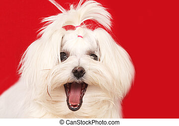 Maltese dog posing for the camera