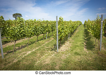 English vineyard - Orderly rows of vines on a sunny day in...