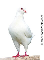 White pigeon - imperial-pigeon - ducula