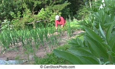 old gardener weeding - Bean plant leaves and gardener old...
