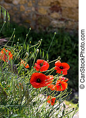 Poppies flowering along the roadside in Val dOrcia Tuscany
