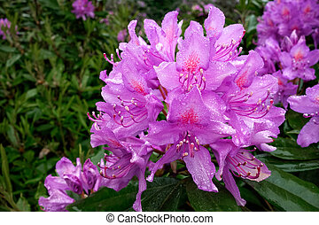 Close_up of a Rhododendron covered with raindrops