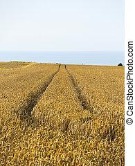 ripe wheat field in Normandy, France