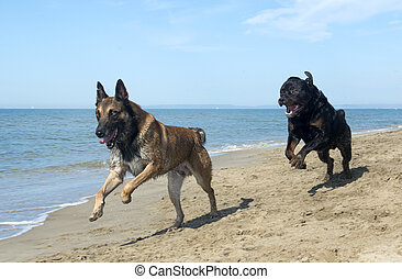 playing dogs - playing rottweiler and belgian shepherd on...
