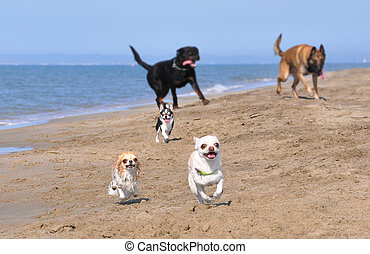 running dogs - running chihuahua, rottweiler and malinois on...
