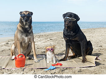three dogs on the beach - malinois, rottweiler and chihuahua...