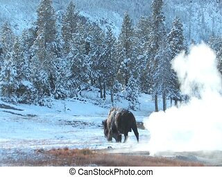 Yellowstone buffalo - Buffalo roaring across the landscape...