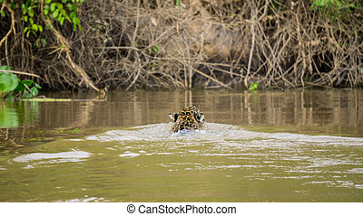 Jaguar in Pantanal - Rear view of Jaguar swimming in...
