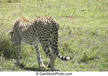 Cheetah on the Serengeti - Time to find a resting place the...