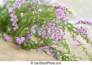 Calluna vulgaris common heather flowers on wooden surface,...