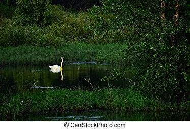 Banded Swan 43P - Beautiful Banded Tundra Swan # 43P at...