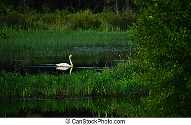 Banded Swan 20E - Beautiful Banded Tundra Swan # 20E at...
