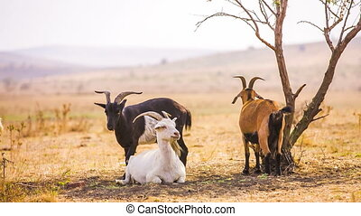 Goats Near Tree - Group of goats near tree RAW format