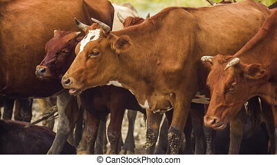Chewing Cows - Shot of chewing cows. RAW format.