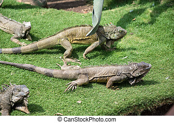 Iguanas enjoying the summer weather at a park in Guayaquil,...
