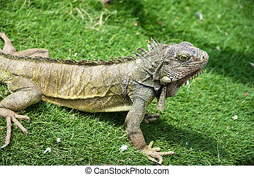 Iguana enjoying the summer weather at a park in Guayaquil,...