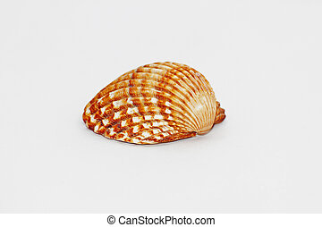 Brown serrated sea shells Conch marine animal