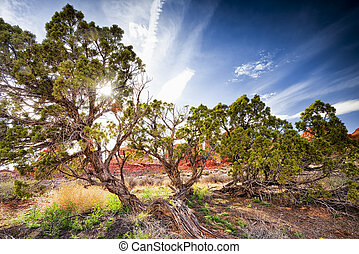 Juniper Trees in Arches National Park - Juniper trees...