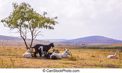 Goats Grazing Near Tree - Group of goats is grazing near...