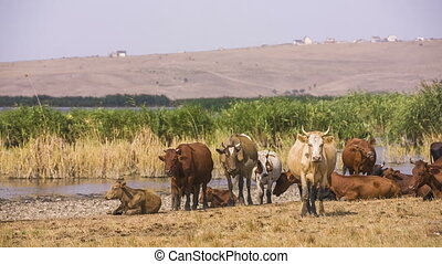 Herd Of Grazing Cows - Herd of cows resting at pasture RAW...