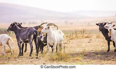 Herd of Goats  - Group of goats at the valley. RAW format.