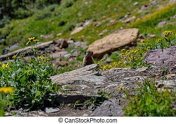 Hiding in Hidden Lake Trail, Glacier National Park, Montana,...