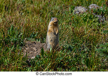 Frustrated prairie dog in Hidden Lake Trail, Glacier...