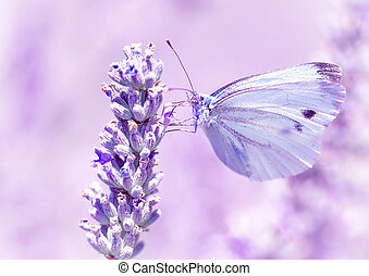 Gentle butterfly on lavender flower - Gentle butterfly with...