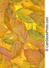 Discolored autumn leaves wisteria background