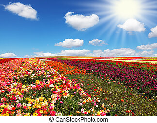 Flowers for export Field of multi-colored decorative...