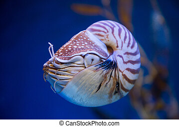 Nautilus pompilius or chambered nautilus, is a cephalopods...